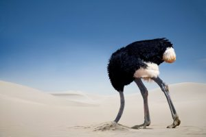 Ostrich facing left with its head buried in the sand