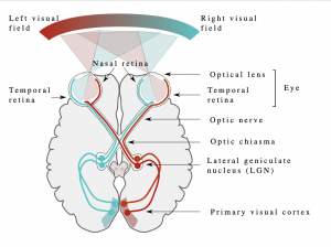 Human eyes and brain diagram