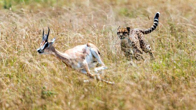 Cheetah chasing pronhorn