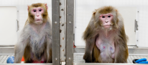 Two rhesus monkeys: the monkey on the left was given a diet with fewer calories and is much leaner. The 29-monkey on the right was allowed to eat as much as it liked. It is fatter and has fatty-looking bulges in its abdominal area. Debunking the carbohydrate-insulin model