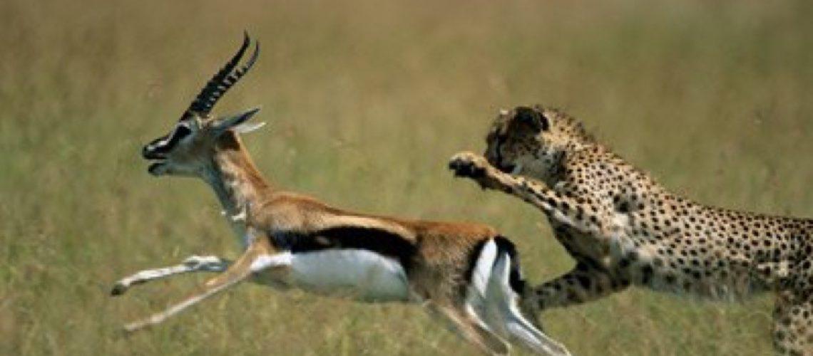 A cheeta chasing an antelope across a grassy plain
