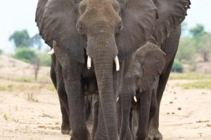 Elephant family walks towards camera